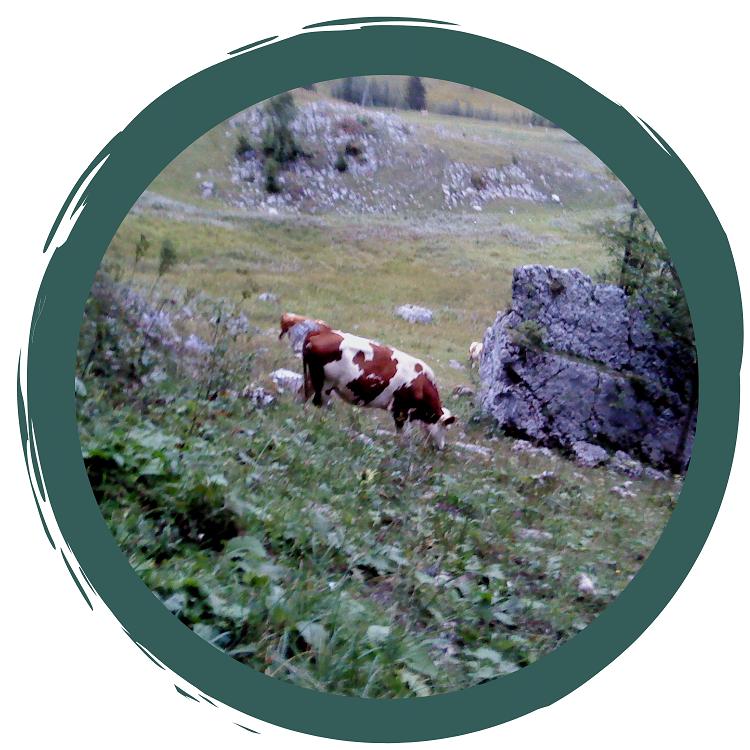 Salatköpfe und die heilige Kuh
