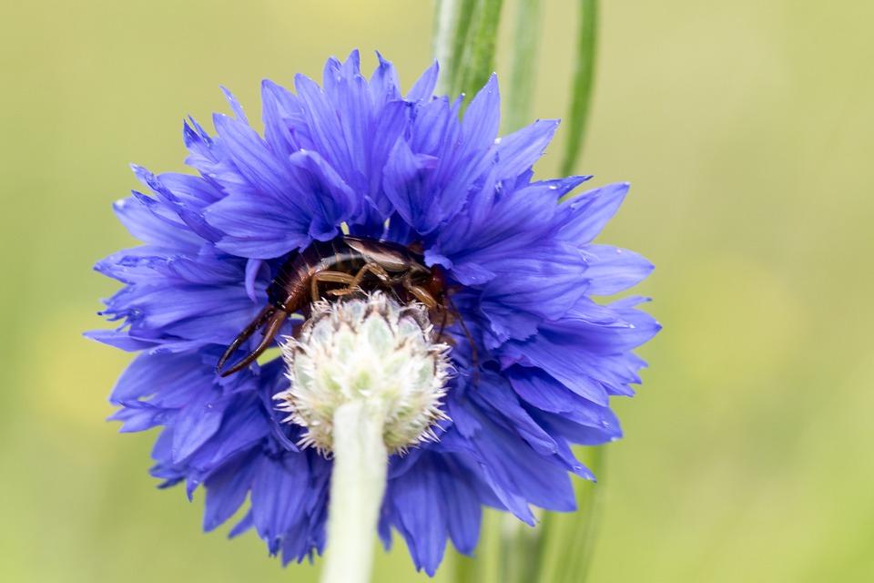 Ohrwurm rastet in einer Kornblume