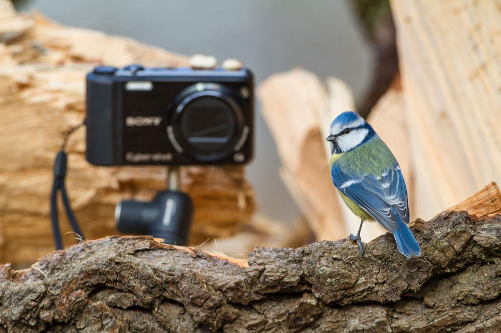 Blaumeise auf Kamera