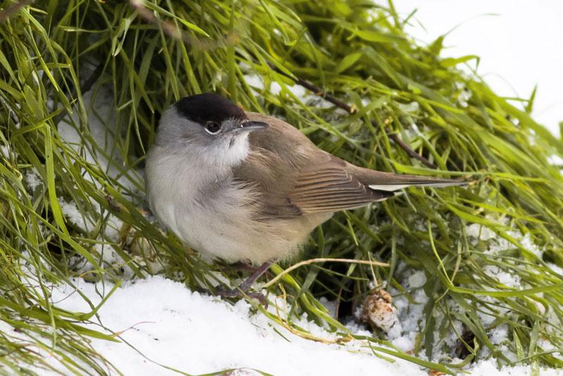 Mönchsgrasmücke im Schnee