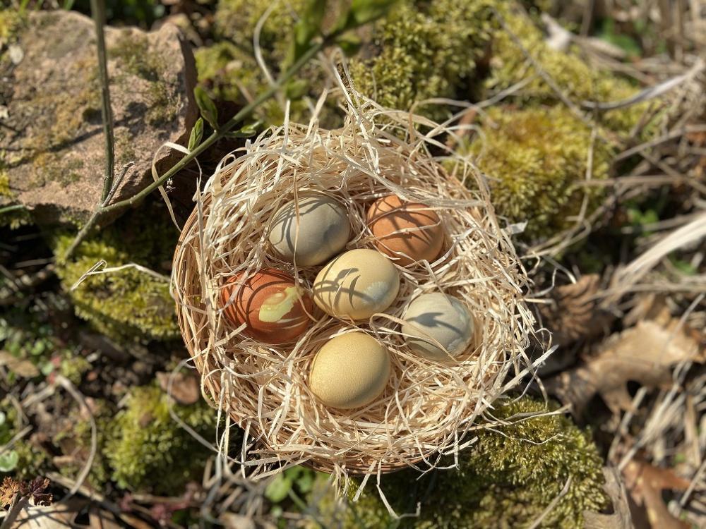 Mehlschwalbe am Nest
