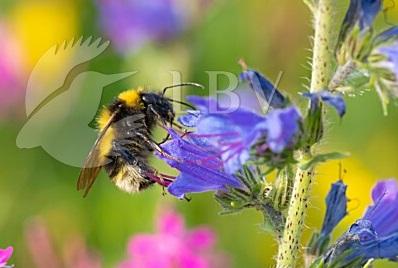 Eine Gartenhummel an der Blüte vom Gewöhnlichen Natternkopf